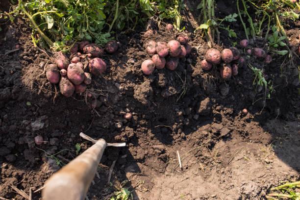 Quel engrais naturel pour les pommes de terre ?